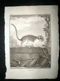 Buffon C1770 Dormouse, Antique Print.